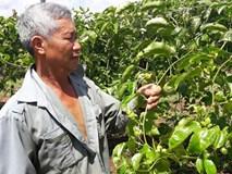 Táng tận lương tâm: Lừa nông dân trồng chanh dây dỏm, rồi biến mất