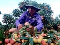 Vải thiều được mùa kỷ lục: Nông dân ước thu 700 tỷ đồng