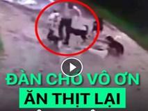 Đàn chó vô ơn tấn công lại ân nhân cứu mạng