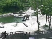 Phục sát đất màn phối hợp nhịp nhàng của đôi voi trưởng thành, cứu sống voi con trượt chân rơi xuống hồ