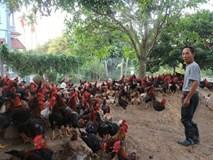 """Bí quyết """"chỉ huy"""" 16.000 con gà mía lai/năm của lão nông Ba Vì"""