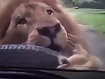 Cảnh tượng sư tử ngoạm chặt xe tham quan khiến du khách ngồi bên trong thất kinh