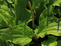 Loại cây quen thuộc giúp ngừa ung thư, cai thuốc lá