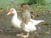 Thấy bạn khỉ vùng vẫy vì bị điện giật, ngỗng lao vào cứu nhưng kết cục cả 2 cùng thiệt mạng