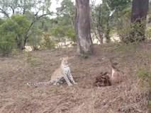 Video: Báo đốm giết bê, bị bò mẹ đuổi chạy tít lên cây
