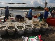Thương lái đến mua tận nơi, nông dân Nghệ An thắng lớn vụ tôm