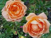 """Vườn hồng ngoại """"siêu khủng"""" của ông bố 8X từng lao vào chơi hoa như """"thiêu thân"""""""