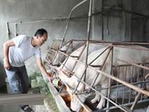 Giá lợn lên 36.000 đồng/kg, sốc vì không còn lợn bán