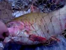 Câu được cá quý hiếm khổng lồ trên thượng nguồn sông Đà