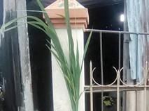 Loài cây giống lúa cao 2 m khiến nhiều người lo sợ