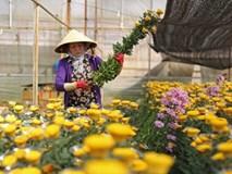 Hoa cúc Đà Lạt bất ngờ tăng giá cao