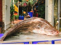 Cá leo 'khổng lồ' dài gần 1,8m xuất hiện ở Hà Nội