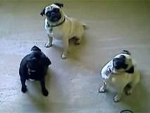 Clip hài: Hài hươc với những chú chó 'siêu quậy'