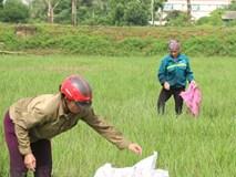 Hà Nội: Vì sao nhiều người đổ xô đi bắt ốc bươu vàng ven đại lộ Thăng Long?