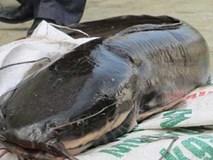 Cá trê 'thủy quái' trên 10 kg/con: 'Nhìn đã thấy sợ, nói chi ăn'