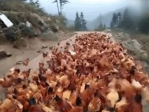 Kinh ngạc đàn gà bay vèo vèo như chim mỗi khi nghe thấy tiếng còi
