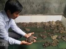 Cách nuôi lạ: Cho ếch ăn ớt, lá xoan, thảo dược, không kháng sinh