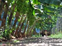 Sau giải cứu, dân Đồng Nai lại ồ ạt trồng chuối chờ Trung Quốc thu mua