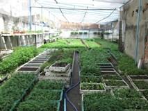 Giám đốc bỏ lương 2.000 USD về trồng rau bằng 'sóng điện thoại'