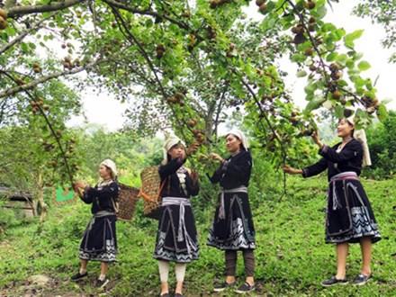 Nghỉ lễ, vừa du lịch vừa hái lê ở khu vườn trĩu quả cao trên 1.000m