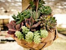 Trồng cây sen đá: Vừa dễ sống, đẹp nhà lại rước đầy may mắn tài lộc