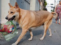 Gặp chú chó cá tính nhất Sài Gòn: Chủ mua gì cũng xung phong xách hộ, không cho theo thì hờn mát bỏ ăn!