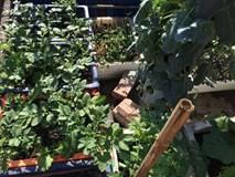 Chỉ 20m2: Đây là vườn rau đủ loại, ăn không xuể của mẹ Hà Thành