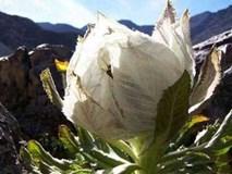 Chè sen tuyết Tây Tạng, trà hoa hồng 9 năm nở 1 lần: Hàng độc biếu sếp