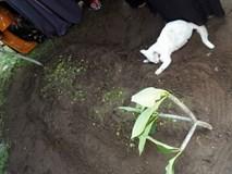 Video: Xót xa nhìn chú mèo bất lực bới mộ ông chủ vừa được chôn cất
