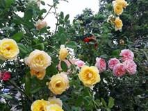 Vườn hoa hồng rộng hơn 1000m² của cô con dâu khiến mẹ chồng khó tính cũng phải yêu