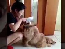 Chó cưng làm giá đỡ cho chủ thái đồ