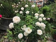 1.000 m2 trồng 300 cây hoa hồng: Đất vàng Hồ Tây trồng hoa ngắm chơi
