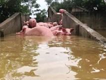 Chủ trang trại kể lại lũ 'cướp đi 6.000 con heo
