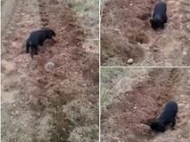 Chú chó nhỏ trồng khoai giúp chủ hút triệu lượt xem