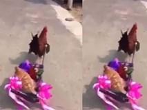 Màn rước dâu độc nhất vô nhị của gà trống
