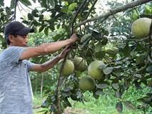 Lạ lùng: Vùng bưởi đặc sản Đoan Hùng, dân lại đi trồng bưởi da xanh