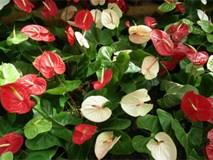 Trồng hoa hồng môn để vừa đẹp nhà lại vừa nhiều may mắn