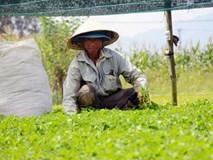 Chê cười 'điên trồng rau dại': Cả làng ngả mũ lão nông khác người