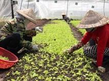 Tiểu thư 8x đất Sài Thành trồng rau hữu cơ được Mỹ chứng nhận