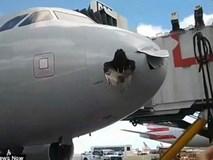 Chim khổng lồ mắc kẹt vào đầu máy bay sau va chạm trên không