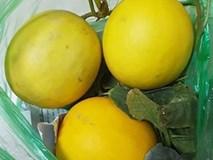 Cuối mùa dưa kim hoàng hậu, các chủ shop hoa quả về tận vườn Hải Phòng mua loại quả ngọt thơm không kém dưa Hàn