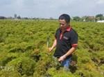 Nam Định: Đinh lăng giá rẻ như cho, từ cây làm giàu thành cây chết dở-5