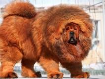 Chán chó ngao Tây Tạng, giới siêu giàu TQ nuôi gì?