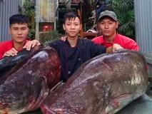 Cận cảnh cặp cá leo 'khủng' nặng hơn 1 tạ xuất hiện ở Thủ đô