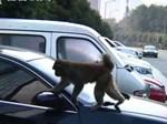 Chú khỉ chăm chỉ nhất thế giới: Vừa trông con vừa rửa thau-1