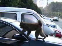 """Nhận được một """"đặc ân"""", chú khỉ ngày nào cũng tiễn người phụ nữ ra về sau giờ làm"""