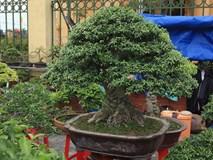 'Kỳ hoa dị thảo' dồn dập đổ về Hà Nội, dân chơi cây cảnh phát sốt