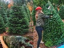 Noel chơi chất: Cây thông 5 mét nguyên gốc từ Đan Mạch về Việt Nam