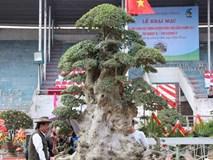 Đại gia xếp hàng 2 năm, 'cõng' bao tải tiền mua cây duối cổ trăm năm