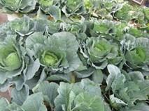 Khoai tây, bắp cải dày đặc trên mái nhà: Khu vườn hiếm có ở Hà Nội